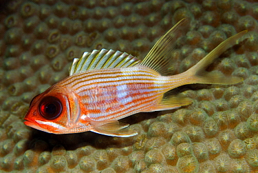 Large-mouthed Squirrelfish (Neoniphon marianus), Cayman Islands, Caribbean Sea  -  Hans Leijnse/ NiS