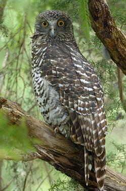 Powerful Owl (Ninox strenua), Victoria, Australia  -  Roger Powell/ NiS