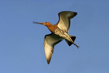Black-tailed Godwit (Limosa limosa) flying  -  Steven Ruiter/ NIS