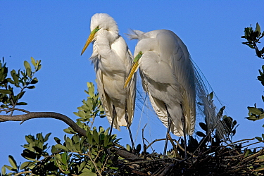 Great Egret (Ardea alba) pair on nest, Florida  -  Winfried Wisniewski