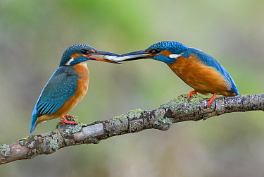 Common Kingfisher (Alcedo atthis) pair exchanging fish prey as part of courtship, Lochem, Gelderland, Netherlandsm, sequence 1 of 2  -  Michiel Schaap/ Buiten-beeld