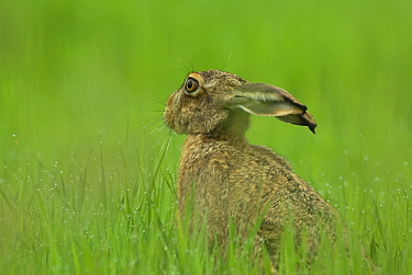 Cape Hare (Lepus capensis), Muritz National Park, Germany  -  Michiel Schaap/ Buiten-beeld
