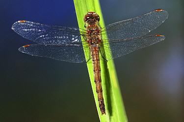 Common Darter (Sympetrum striolatum) dragonfly  -  Jef Meul/ NIS