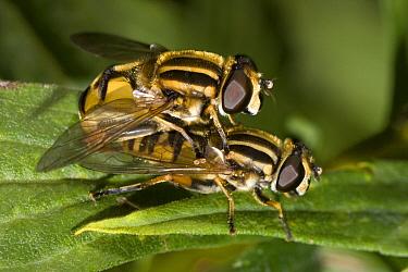 Hoverfly (Helophilus pendulus) pair mating on leaf  -  Jef Meul/ NIS
