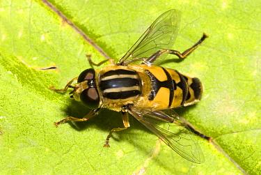 Hoverfly (Helophilus pendulus) on leaf  -  Jef Meul/ NIS