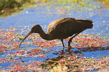 Puna Ibis (Plegadis ridgwayi) foraging in swamp, Lauca National Park, Chile  -  Chris Stenger/ Buiten-beeld