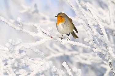 European Robin (Erithacus rubecula) in winter, Schagen, Noord-Holland, Netherlands  -  Do van Dijk/ NiS