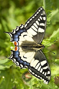 Oldworld Swallowtail (Papilio machaon) butterfly, Roermond, Netherlands  -  Edo van Uchelen/ NiS