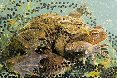 European Toad (Bufo bufo) pair in amplexus, spawning, Vledder, Drenthe, Netherlands  -  Edo van Uchelen/ NiS