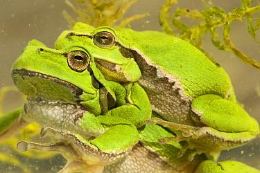 European Tree Frog (Hyla arborea) amplexus, Vledder, Drenthe, Netherlands  -  Edo van Uchelen/ NiS