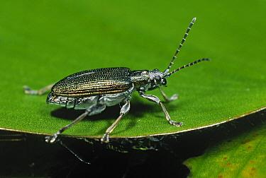 Leaf Beetle (Donacia sp) on leaf  -  Duncan Usher