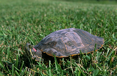 Red-eared Slider (Trachemys scripta elegans) turtle on grass, Kearney, Missouri  -  Philip Friskorn/ NiS