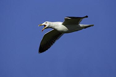 Great Black-backed Gull (Larus marinus) flying, Texel, Holland, Netherlands  -  Duncan Usher