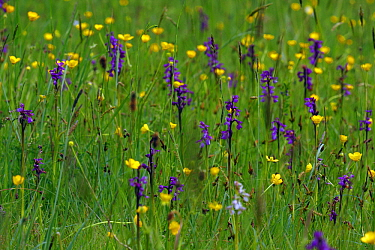 Green-winged Orchid (Orchis morio) in meadow, Saint-Jory-las-Bloux, Dordogne, France  -  Silvia Reiche