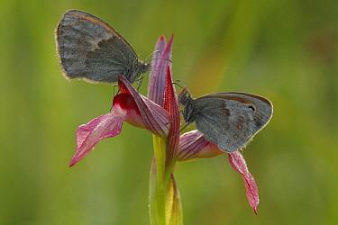 Small Heath (Coenonympha pamphilus) butterflies on Tongue Orchid (Seraphis lingua), Saint-Jory-las-Bloux, Dordogne, France  -  Silvia Reiche