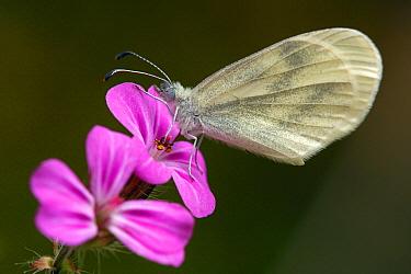 Wood White (Leptidea sinapis) butterfly, Saint-Jory-las-Bloux, Dordogne, France  -  Silvia Reiche