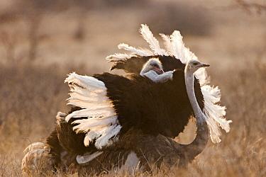 Ostrich (Struthio camelus) pair mating, Khama Rhino Sanctuary, Serowe, Botswana  -  Vincent Grafhorst