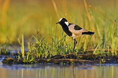 Blacksmith Lapwing (Vanellus armatus) in wetland, Gaborone Game Reserve, Gaborone, Botswana  -  Vincent Grafhorst