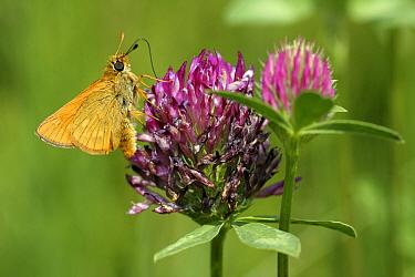 Large Skipper (Ochlodes venata) butterfly feeding on nectar from Red Clover (Trifolium pratense) flower, Engbertsdijksvenen, Overijssel, Netherlands  -  Karin Rothman/ NiS