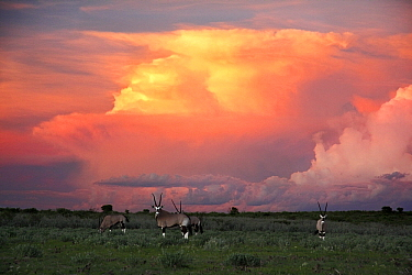 Oryx (Oryx gazella) group in savannah with storm clouds, Central Kalahari Game Reserve, Lethiau Valley, Botswana  -  Vincent Grafhorst
