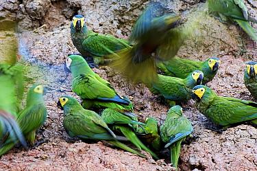 Red-bellied Macaw (Ara manilata) group feeding on clay lick minerals, Peru  -  Jan Vermeer
