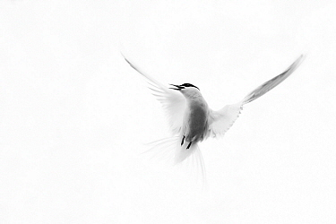 Arctic Tern (Sterna paradisaea) flying, Svalbard, Norway  -  Jasper Doest