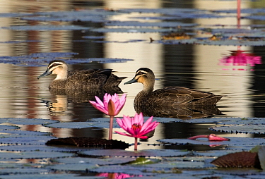 Pacific Black Duck (Anas Superciliosa) pair amid water lilies, Papua New Guinea  -  Otto Plantema/ Buiten-beeld
