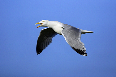 Herring Gull (Larus argentatus) calling during flight, Texel, Netherlands  -  Duncan Usher