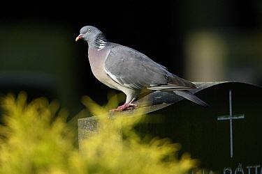 Common Wood-pigeon (Columba palumbus) on a gravestone, Lower Saxony, Germany  -  Duncan Usher
