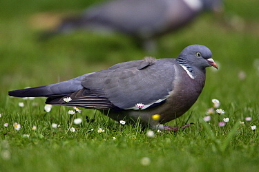 Common Wood-pigeon (Columba palumbus) feeding on the clover growing on a lawn, Lower Saxony, Germany  -  Duncan Usher