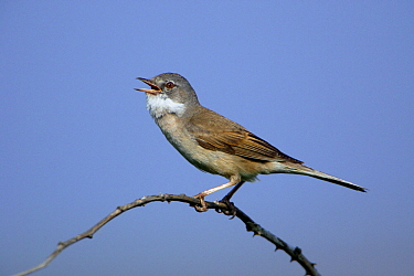 Common Whitethroat (Sylvia communis) male singing, Texel, Netherlands  -  Duncan Usher