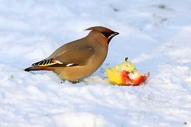 Bohemian Waxwing (Bombycilla garrulus) feeding on an apple in the snow, Lower Saxony, Germany  -  Duncan Usher