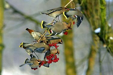 Bohemian Waxwing (Bombycilla garrulus) flock feeding on the berries of a Guelder Rose (Viburnum opulus), Lower Saxony, Germany  -  Duncan Usher