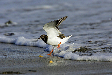 Ruddy Turnstone (Arenaria interpres) in the surf, Northumberland, England  -  Duncan Usher