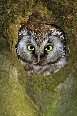 Boreal Owl (Aegolius funereus) looking out of nesthole in a tree, Lower Saxony, Germany  -  Duncan Usher