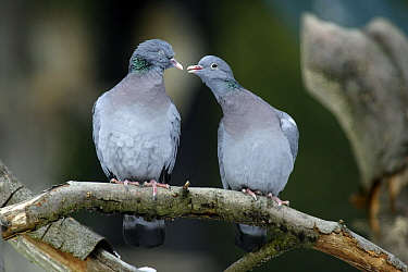 Stock Dove (Columba oenas) pair on a branch, Bavaria, Germany  -  Duncan Usher