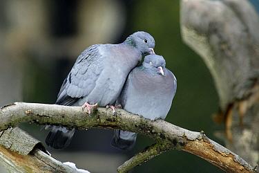 Stock Dove (Columba oenas) pair allopreening on branch, Bavaria, Germany  -  Duncan Usher