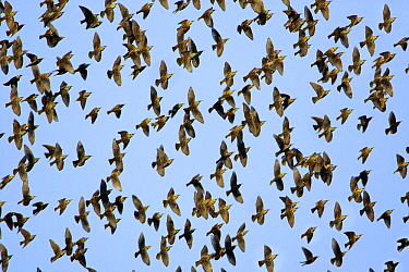 Common Starling (Sturnus vulgaris) flock flying, Northumberland, England  -  Duncan Usher