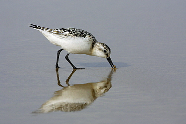 Sanderling (Calidris alba) foraging in shallow water, Costa Verde, Spain  -  Duncan Usher