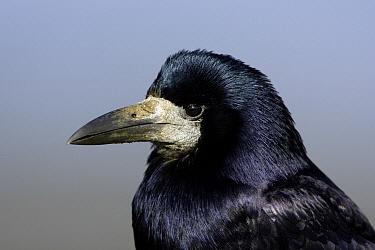 Rook (Corvus frugilegus), Northumberland, England  -  Duncan Usher