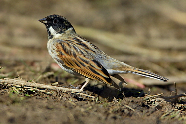 Reed Bunting (Emberiza schoeniclus) male, Lower Saxony, Germany  -  Duncan Usher