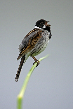 Reed Bunting (Emberiza schoeniclus) male singing on a stalk, Lower Saxony, Germany  -  Duncan Usher