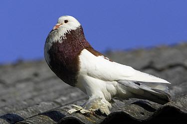 Rock Dove (Columba livia) of domestic variety, Bavaria, Germany  -  Duncan Usher