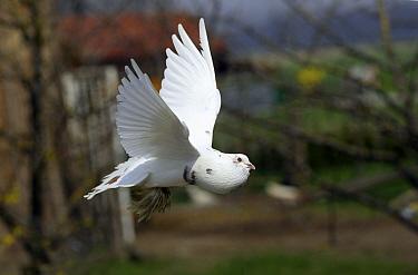 Rock Dove (Columba livia) domestic variety flying, Bavaria, Germany  -  Duncan Usher