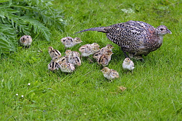 Ring-necked Pheasant (Phasianus colchicus) hen with chicks, Northumberland, England  -  Duncan Usher