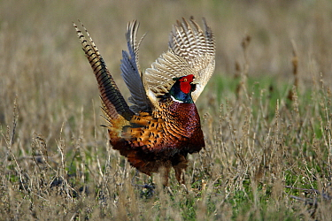 Ring-necked Pheasant (Phasianus colchicus) cock displaying, Northumberland, England  -  Duncan Usher