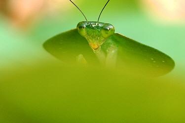 Mantid (Rhombodera sp), Laguna del Lagarto, Boca Tapada, Costa Rica  -  Martin van Lokven