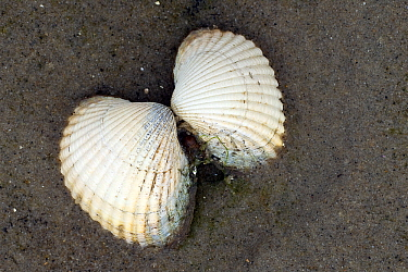 Common Cockle (Cerastoderma edule) on beach, Texel, Netherlands  -  Willi Rolfes/ NIS