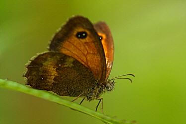 Orange Tip (Anthocharis cardamines) butterfly, Hoogeloon, Noord-Brabant, Netherlands  -  Silvia Reiche