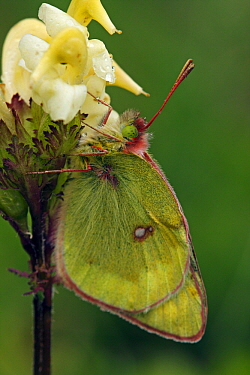 Mountain Clouded Yellow (Colias phicomone) butterfly on flower, Hohe Tauern National Park, Austria  -  Silvia Reiche